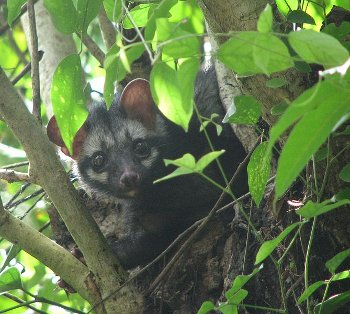 A palm civet in a tree